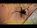 10 самых смертоносных пауков в мире HD