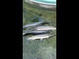 древние рыбы, могут жить на суше